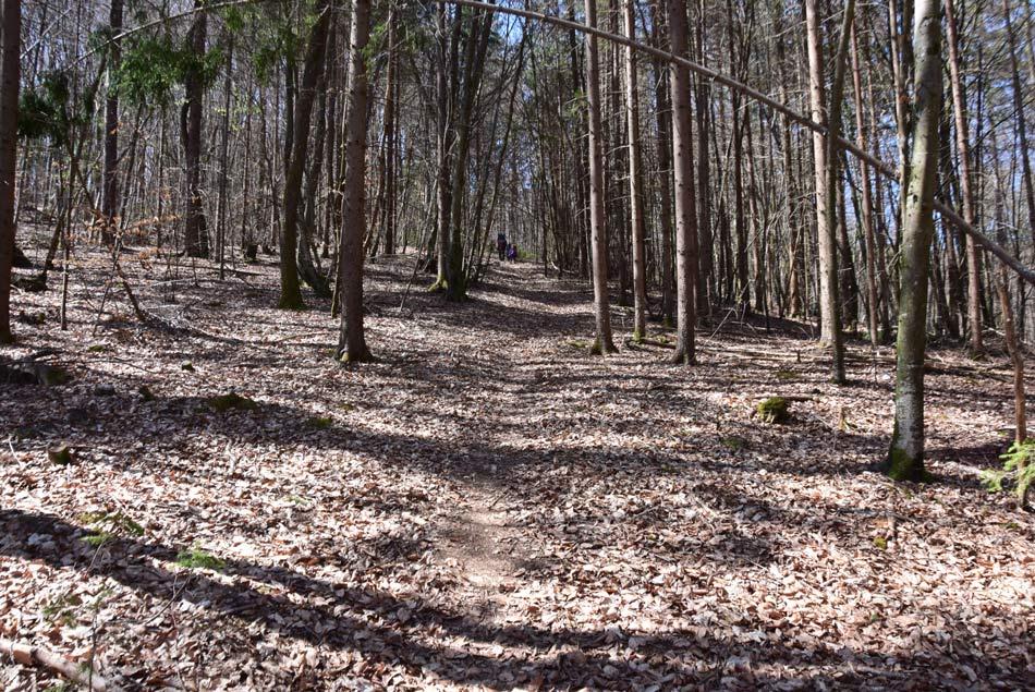 Svetel bukov gozd.