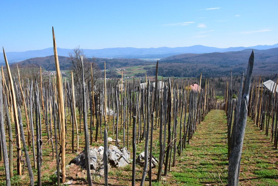 Star vinograd vrh Golobinjeka pod cerkvico svete Uršule.