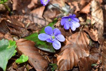 Navadni jeternik je zdravilna rožica posneta pod Kaličnim vrhom na Travni Gori.