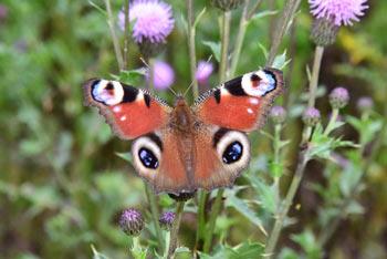 Koča na Pesku se nahaja na robu gozdne jase na Pohorju, zato je pri njen veliko metuljev dnevnih pavlinčkov.