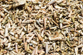 Prazne školjkine lupine tvorije sipino imenovano Pokopališče školjk.
