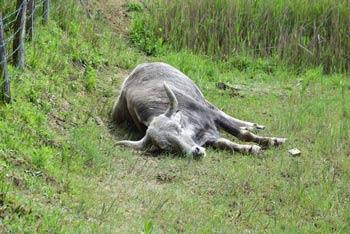 V Škocjanskem zatoku bomo poleg divjih živali srečali tudi domače govedo, kar bo otroke še posebej razveselilo.