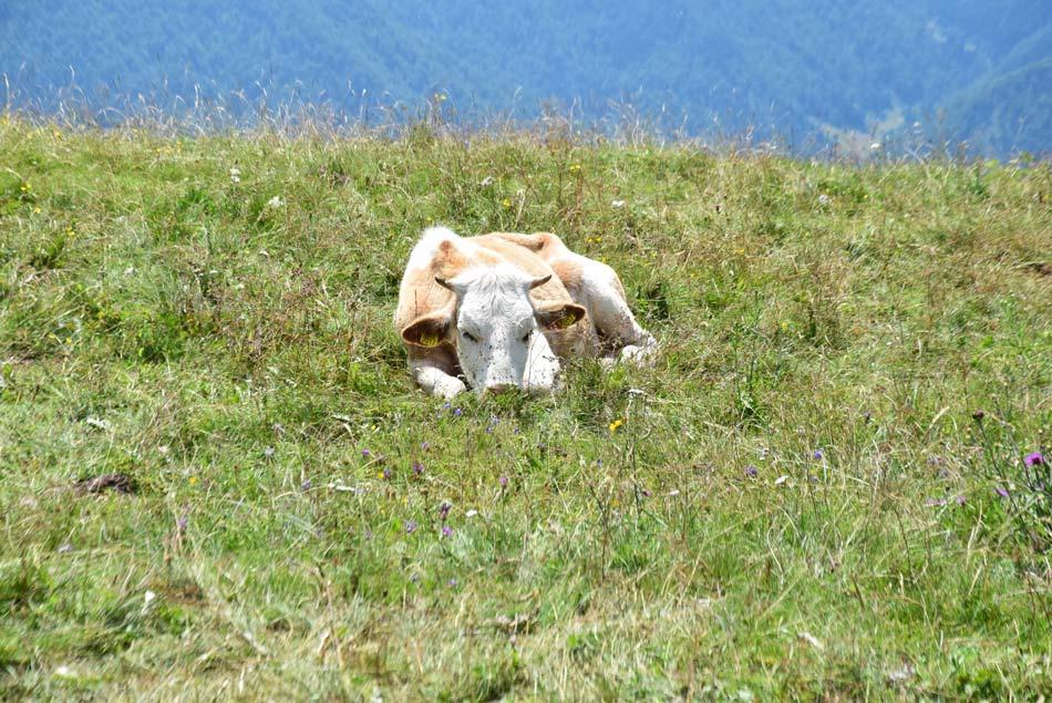 Krava leži v travi na soncu in prežvekuje.