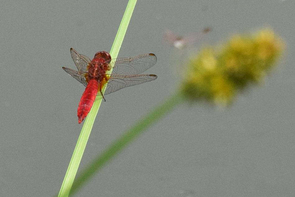 Rdeči kačji pastir in številne ostale žuželke in dvoživke živijo v močvirjih reke Soče.