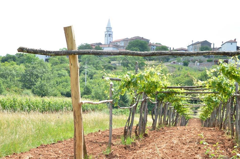 Izlet nas vodi mimo številnih teranovih vinogradov v bližini kraških vasi.