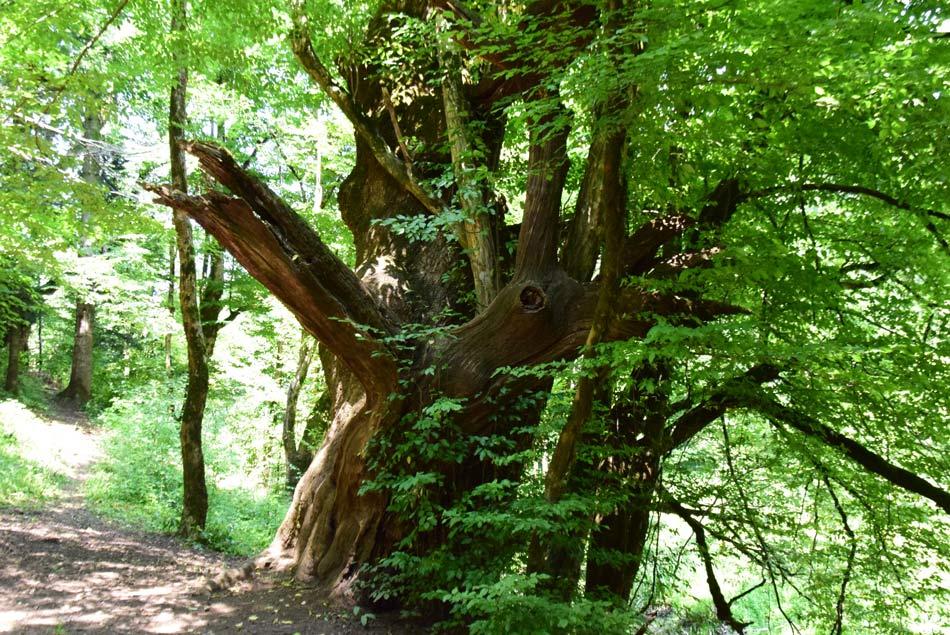 Mogočno drevo na izletu po Rakovem Škocjanu.