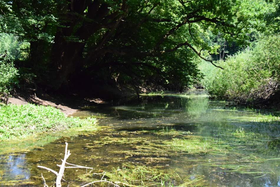 Kraška ponikalnica, reka Rak lenobno teče zelena od drevja in vodnih alg.