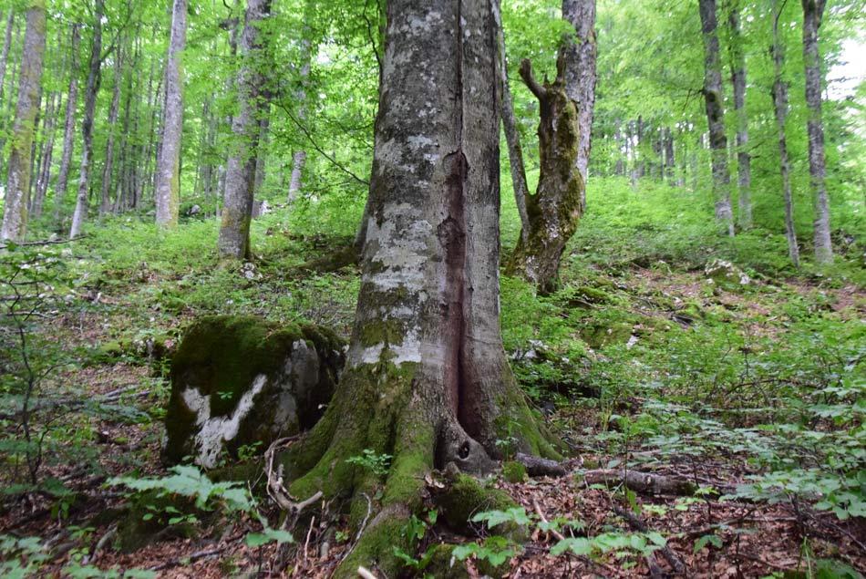Kočevski Rog je največji strjeni gozd v Sloveniji.